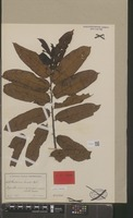Isotype of Casearia bicolor Urb. [family FLACOURTIACEAE]