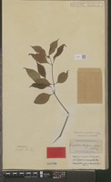 Type of Psychotria hoffmannseggiana (Willd. ex Roem. & Schult.) Müll.Arg. var. hoffmannseggiana [family RUBIACEAE]