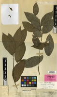 Holotype of Casearia clutiifolia Blume [family FLACOURTIACEAE]