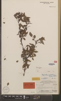 Isotype of Phyllanthus archboldianus Airy Shaw & G.L.Webster [family EUPHORBIACEAE]