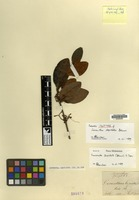 Isotype of Loranthus lepidotus Blume [family LORANTHACEAE]