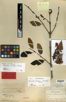 Syntype of Loranthus oortianus Korth. [family LORANTHACEAE]