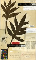 Lectotype of Polypodium insigne Blume [family PTERIDOPHYTA]