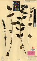 Lectotype of Pogostemon menthoides Blume [family LABIATAE]