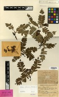 Isotype of Sorbus foliolosa (Wall.) & Spach var. ursina Wenz. [family ROSACEAE]