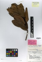 Isotype of Adenodaphne bernardii Kosterm. [family LAURACEAE]