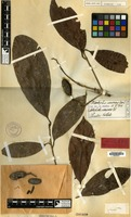 Holotype of Nothaphoebe canescens Blume [family LAURACEAE]