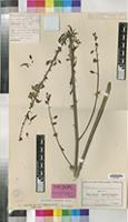Isotype of Anthericum magnificum Poelln. [family LILIACEAE]