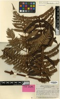 Type of Cyathea pachyrrhachis Copel. [family PTERIDOPHYTA]