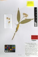 Isotype of Dendrobium woodsii P.J.Cribb [family ORCHIDACEAE]