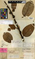 Lectotype of Willughbeia grandiflora Dyer ex Hook.f. [family APOCYNACEAE]