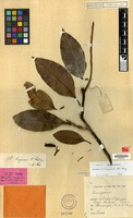 Holotype of Barringtonia linggaensis R.Knuth [family LECYTHIDACEAE]