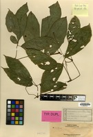 Isotype of Pterisanthes trifoliolata Merr. [family VITACEAE]