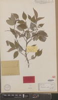 Isotype of Phyllanthus pullenii Airy Shaw & G.L.Webster [family EUPHORBIACEAE]
