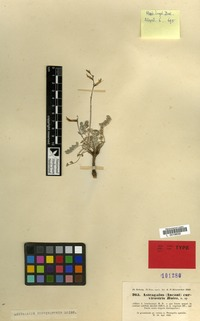 Isotype of Astragalus curvirostris Boiss. [family LEGUMINOSAE-PAP.]