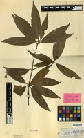 Isotype of Actinodaphne reticulata Meisn. [family LAURACEAE]