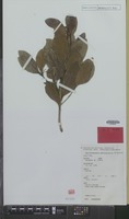 Isotype of Beilschmiedia peninsularis B.Hyland [family LAURACEAE]