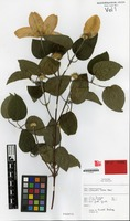 Holotype of Clematis cv. 'silver moon' [family RANUNCULACEAE]