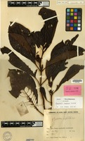 Lectotype of Psychotria conglobata Valeton [family RUBIACEAE]
