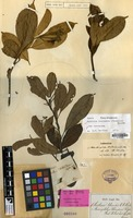 Isotype of Bursinopetalum tetrandrum Wight ex Thwaites [family CORNACEAE]