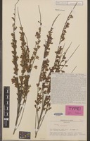 Type of Cytisus cv. 'hollandia' [family LEGUMINOSAE-PAP.]