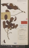 Holotype of Glochidion wisselense Airy Shaw [family EUPHORBIACEAE]