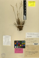 Isotype of Agrostis steenisii de Wit [family GRAMINEAE]
