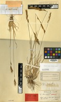 Isotype of Avena argaea Boiss. [family GRAMINEAE]