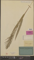 Holotype of Panicum campylogrammum Buse [family GRAMINEAE]