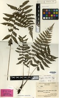 Isotype of Coryphopteris athyrioides Holttum [family THELYPTERIDACEAE]