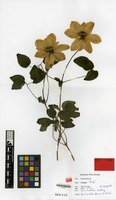 Holotype of Clematis cv. 'aida' [family RANUNCULACEAE]