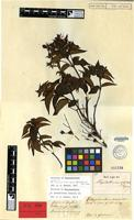 Isotype of Rhynchanthera acuminata Benth. [family MELASTOMATACEAE]