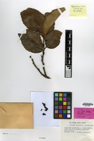 Holotype of Xylosma vincentii Guillaumin [family FLACOURTIACEAE]