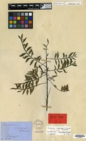 Isolectotype of Dodonaea megazyga F.Muell. ex Benth. [family SAPINDACEAE]