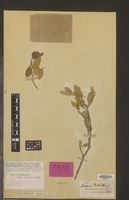 Isotype of Capparis mitchellii Lindl. [family CAPPARACEAE]