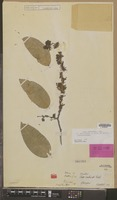 Isolectotype of Olax multiflora A.Rich. ex Baill. [family OLACACEAE]