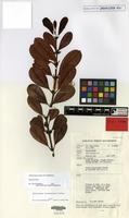 Holotype of Chilocarpus hirtus D.J.Middleton [family APOCYNACEAE]