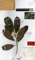 Isotype of Cleidion macarangoides Guillaumin [family EUPHORBIACEAE]