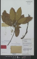Holotype of Barringtonia pseudoglomerata Chantar. [family LECYTHIDACEAE]