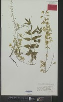 Isoneotype of Glycine floribunda Willd. [family LEGUMINOSAE-PAP.]