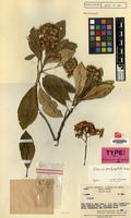 Type of Olearia pachycephala J.Kost. [family COMPOSITAE]