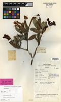 Holotype of Rhododendron praetervisum Sleumer [family ERICACEAE]