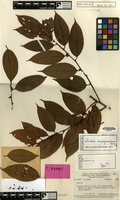Holotype of Lindera novoguineensis Kosterm. [family LAURACEAE]