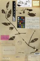 Holotype of Rhizanthemum forsteni Tiegh. [family LORANTHACEAE]