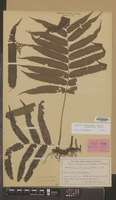 Isotype of Acrostichum pervium Lindm. [family PTERIDOPHYTA]