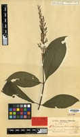 Isotype of Palicourea lasioneura K.Krause [family RUBIACEAE]