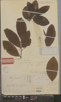 Holotype of Thea sinensis L. var. macrophylla Siebold ex Miq. [family THEACEAE]