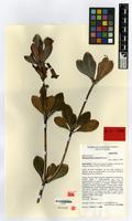 Isotype of Rhododendron dutartrei Danet [family ERICACEAE]