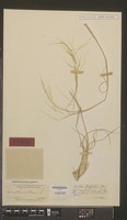 Type of Aristida griffithii Henrard [family GRAMINEAE]