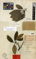 Isotype of Alstonia angustiloba Miq. [family APOCYNACEAE]
